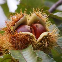 クリの果実(栗の実)の写真