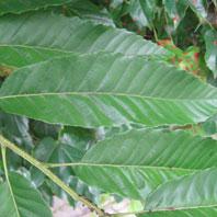 クリの葉の写真