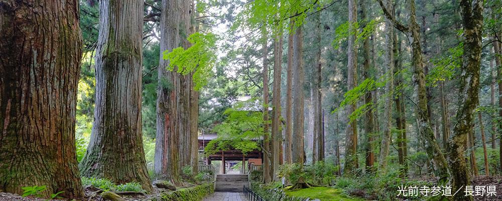 杉(スギ)~日本一の木