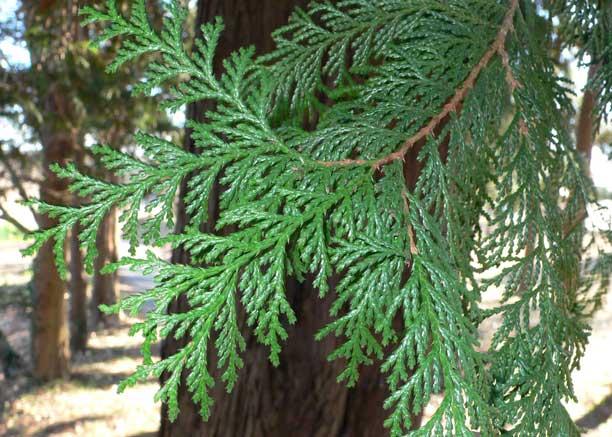 サワラ (植物)の画像 p1_20